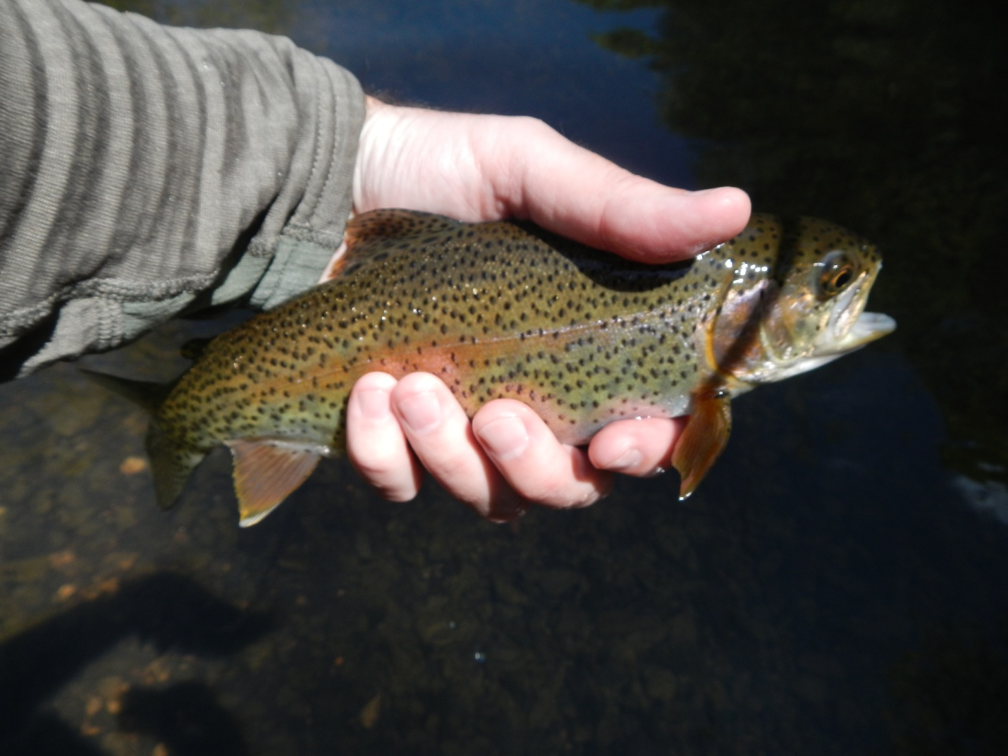 Fly fishing in north alabama huntsville outdoors for Alabama non resident fishing license